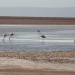 Los humedales sirven de parada y fonda para las aves que surcan el desierto