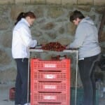 Tras la recogida, las mujeres seleccionan y clasifican las cerezas