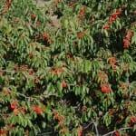 Todo en el Valle del Jerte gira alrededor de las cerezas