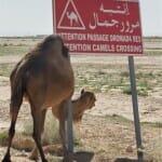 Los camellos forman parte del paisaje del desierto tunecino