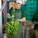 El plátano es una de las frutas más presentes en la agricultura de Madeira