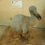Reproducción de un dodo