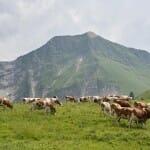 Las vacas viven en libertad en un entorno paradisíaco, algo que sin duda repercute en la calidad de su leche