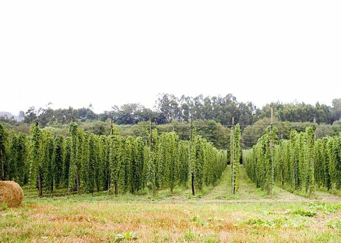 Plantación gallega de lúpulo