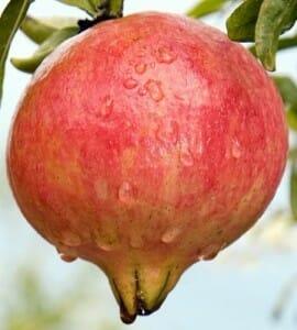 Los estudios sobre la granada se han multiplicado desde que investigadores del CSIC descubrieran su potencial como antioxidante