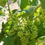 El CRDOP Utiel-Requena centra gran parte de sus esfuerzos en la recuperación de la uva Bobal