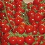 Tomate en rama. Mercado de Rungis