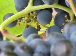 La fruta del vino