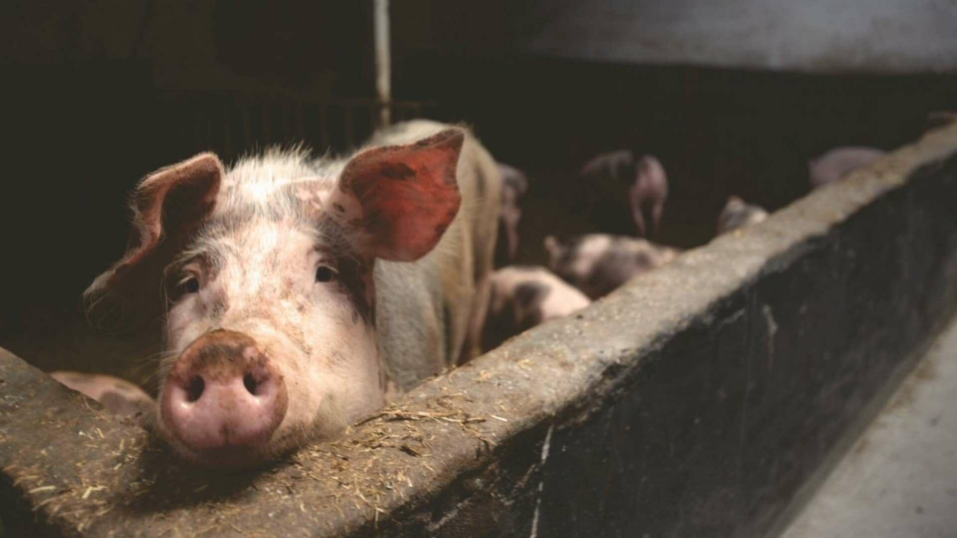 Todo sobre la carne de cerdo
