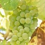 La uva albariño se trabaja en Rías Baixas hasta dar lugar a impresionantes vinos gallegos