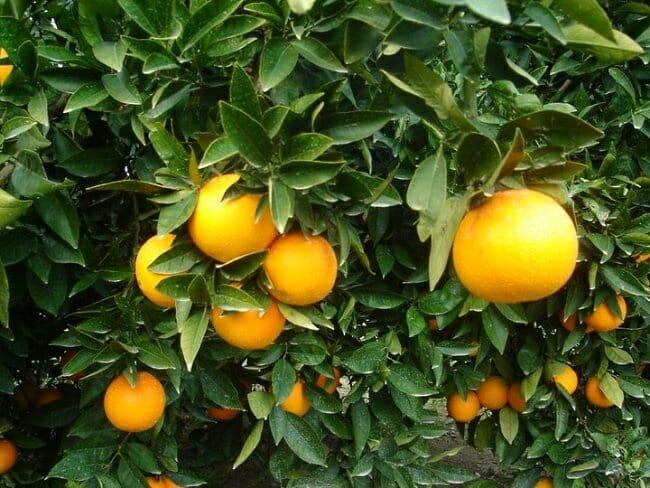 Naranjas María, del árbol a casa en 24 horas