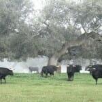 La dehesa extremeña y el toro bravo