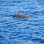 Una gran tortuga en las aguas de Mazarrón