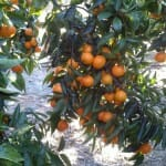 Clementinas Tardías, menos calóricas y de intenso sabor