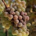 Tipo de uva