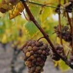 Otra variedad de uva