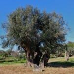 Aceite del jardín de olivos milenarios, en Horta da Moura