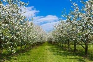 Pomarada de manzanos en flor