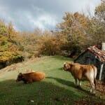La ternera Asturiana, carne 'roxa' para el mejor cachopo