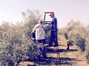 Recogida de la oliva a mano