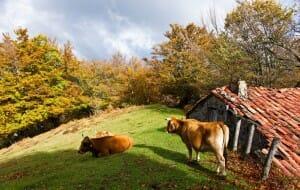 Vacas casinas, en Caso