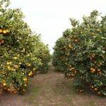 Naranjas Lola: las ricas naranjas de primavera Navel Lane Late