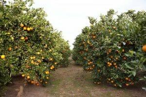 Árboles de Naranjas Lola Navel Lane Late