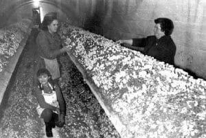 Las primeras bodegas de champiñón en Pradejón, años 50.