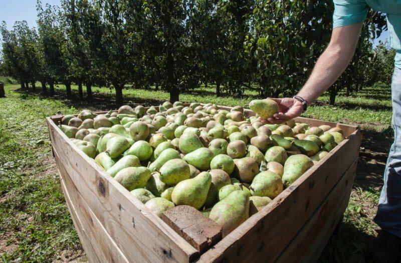 La pera de Rincón de Soto se cultiva en más de 20 localidades
