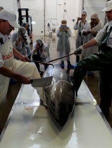 Ronqueo del atún en Petaca Chico