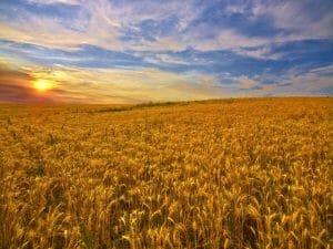 Campo de trigo Khorasan Kamut