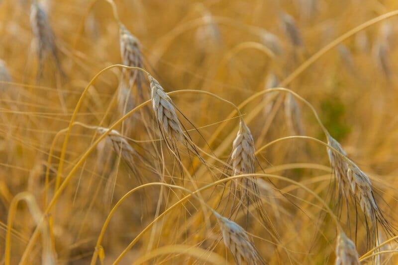 Khorasan o Kamut: el trigo milenario que sienta bien