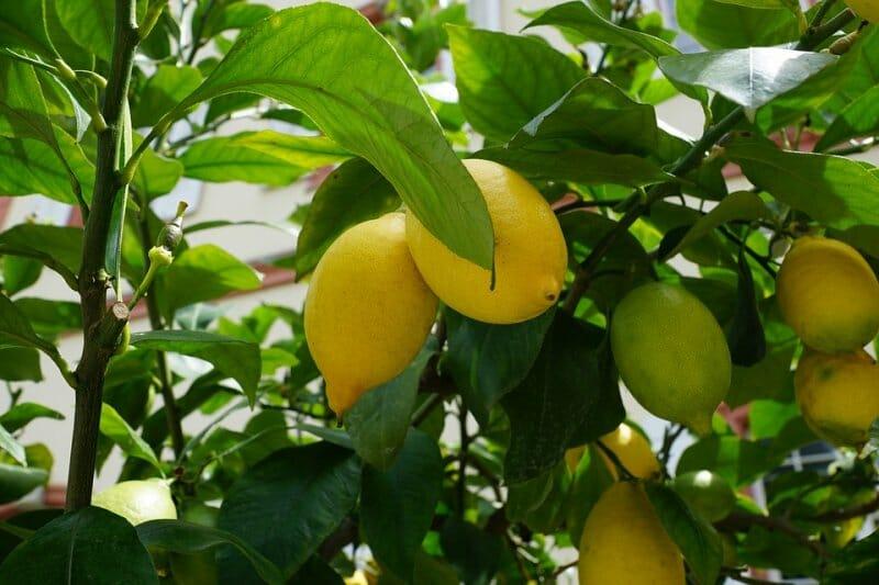 Limón, un Super Alimento delicioso y saludable