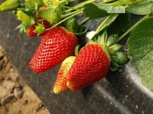 Fresa, la fruta de la temporada