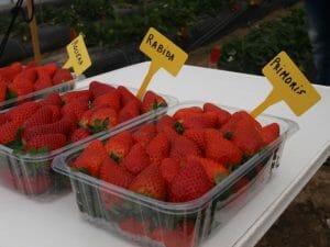 Diferentes variedades de fresa