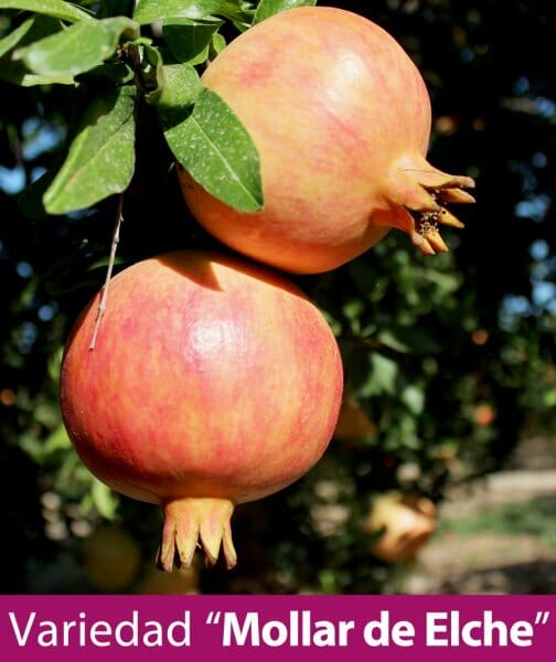 La granada cultivada en España, una fruta rica en la mesa y alimento funcional