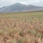 Plantación de Aloe Vera, uno de los productos más solicitados entre los turistas