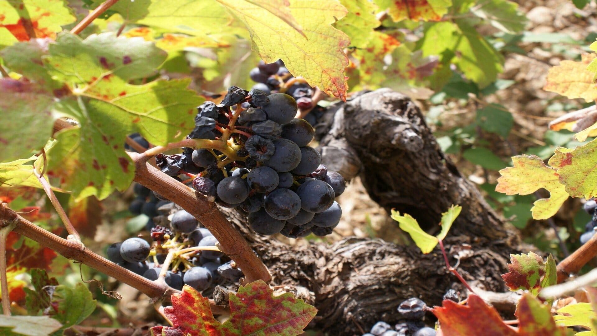 Racimos uva Rufete