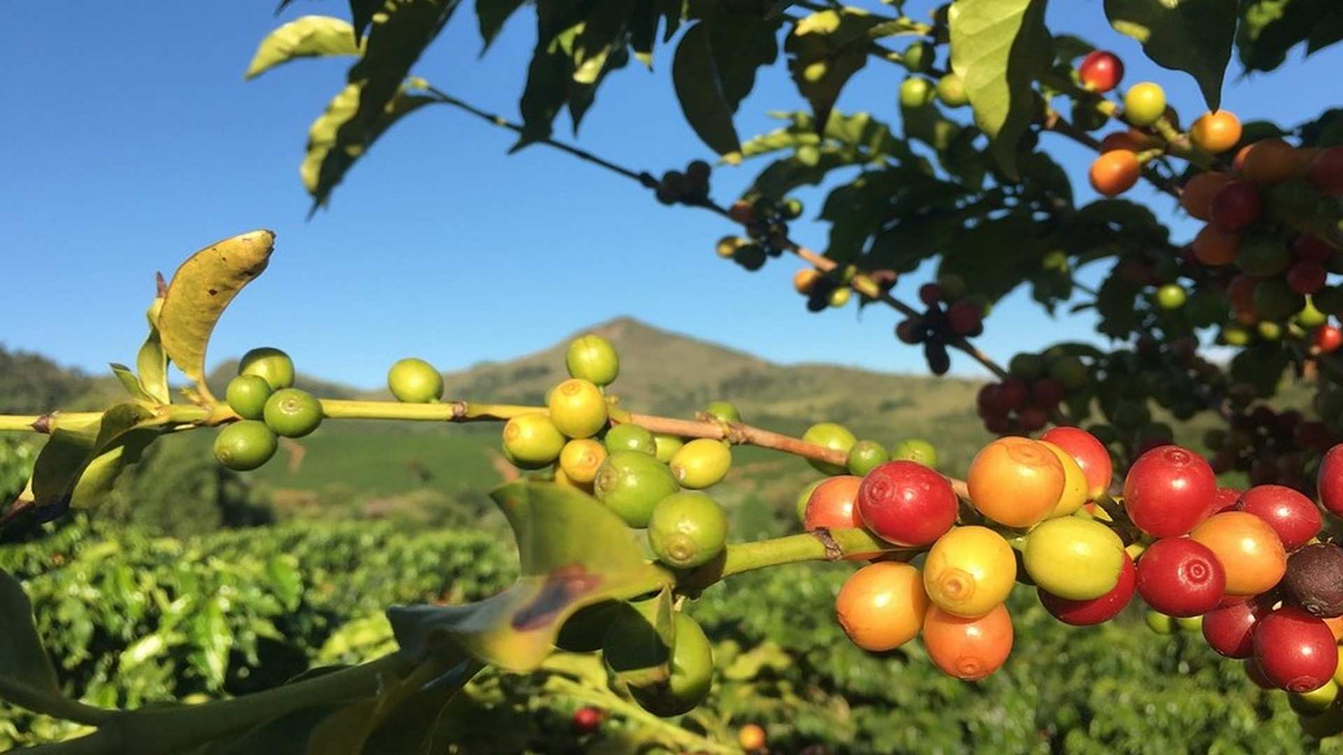 Desmontando la planta del café: 8 curiosidades del arbusto cafeto