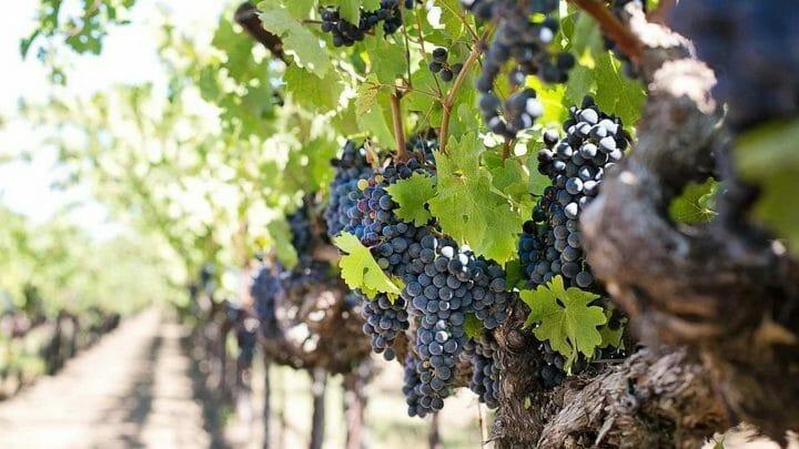 """14 variedades locales de uva """"rescatadas de la extinción"""" en Castilla y León"""