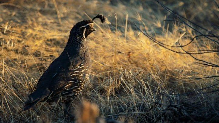 Las mejores aves para cocinar: pularda, capón, codorniz, pato, pintada… hay vida más allá del pollo