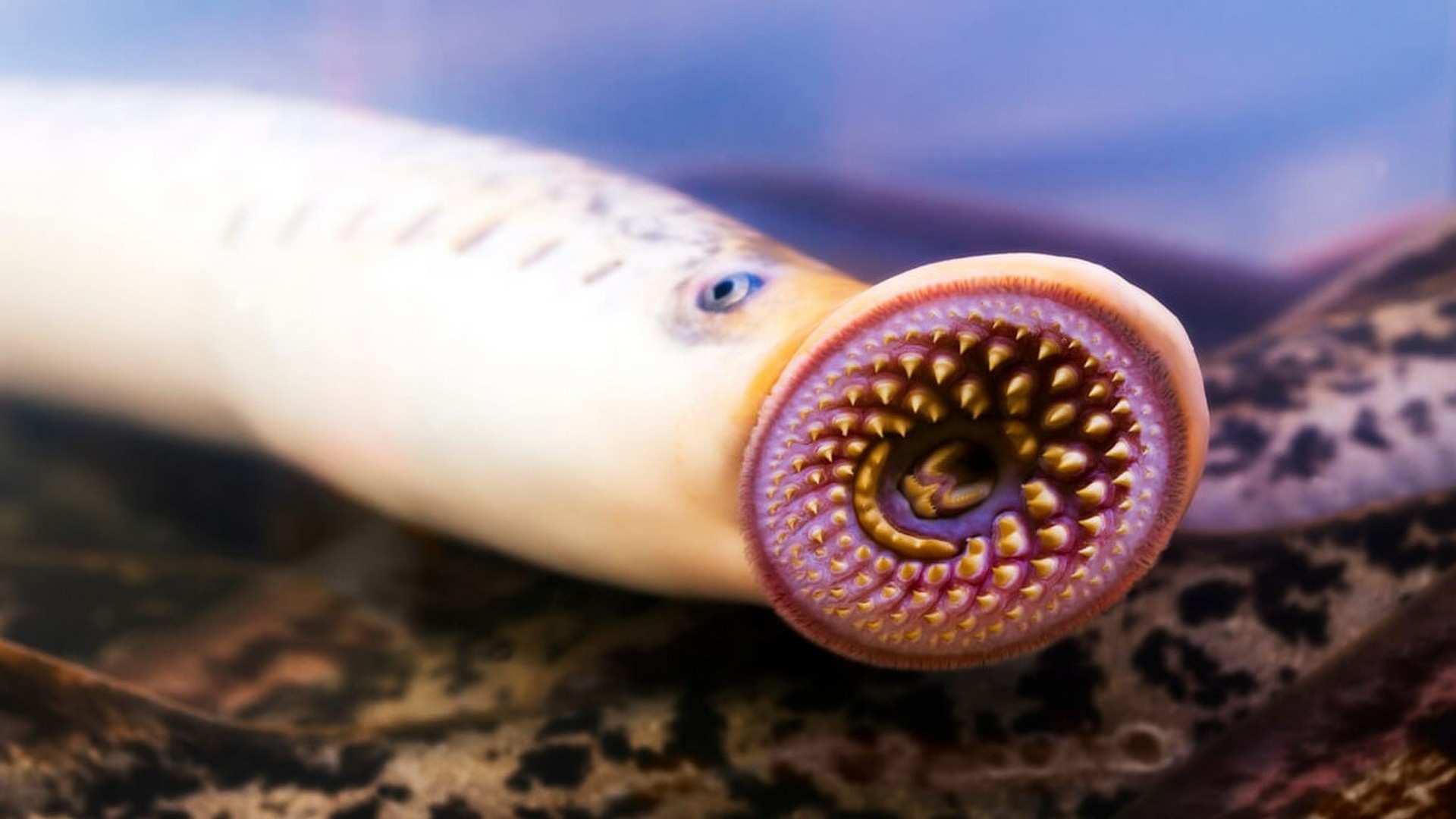 ¡Es época de lamprea! Auténtica gastronomía prehistórica