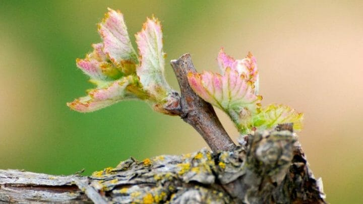 La primavera en la viña