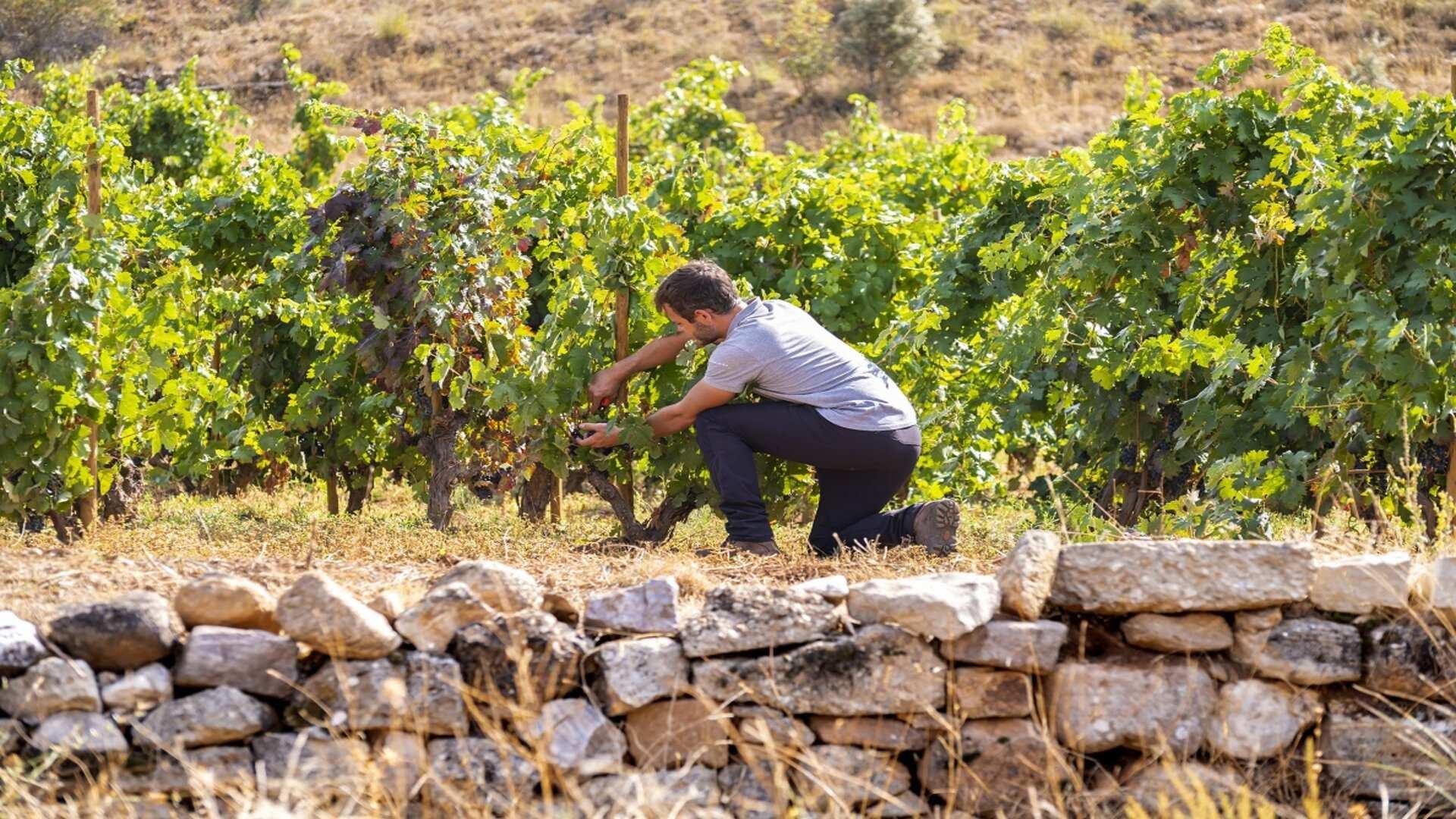Evitar perder la acidez de los vinos (una de las consecuencias del cambio climático)