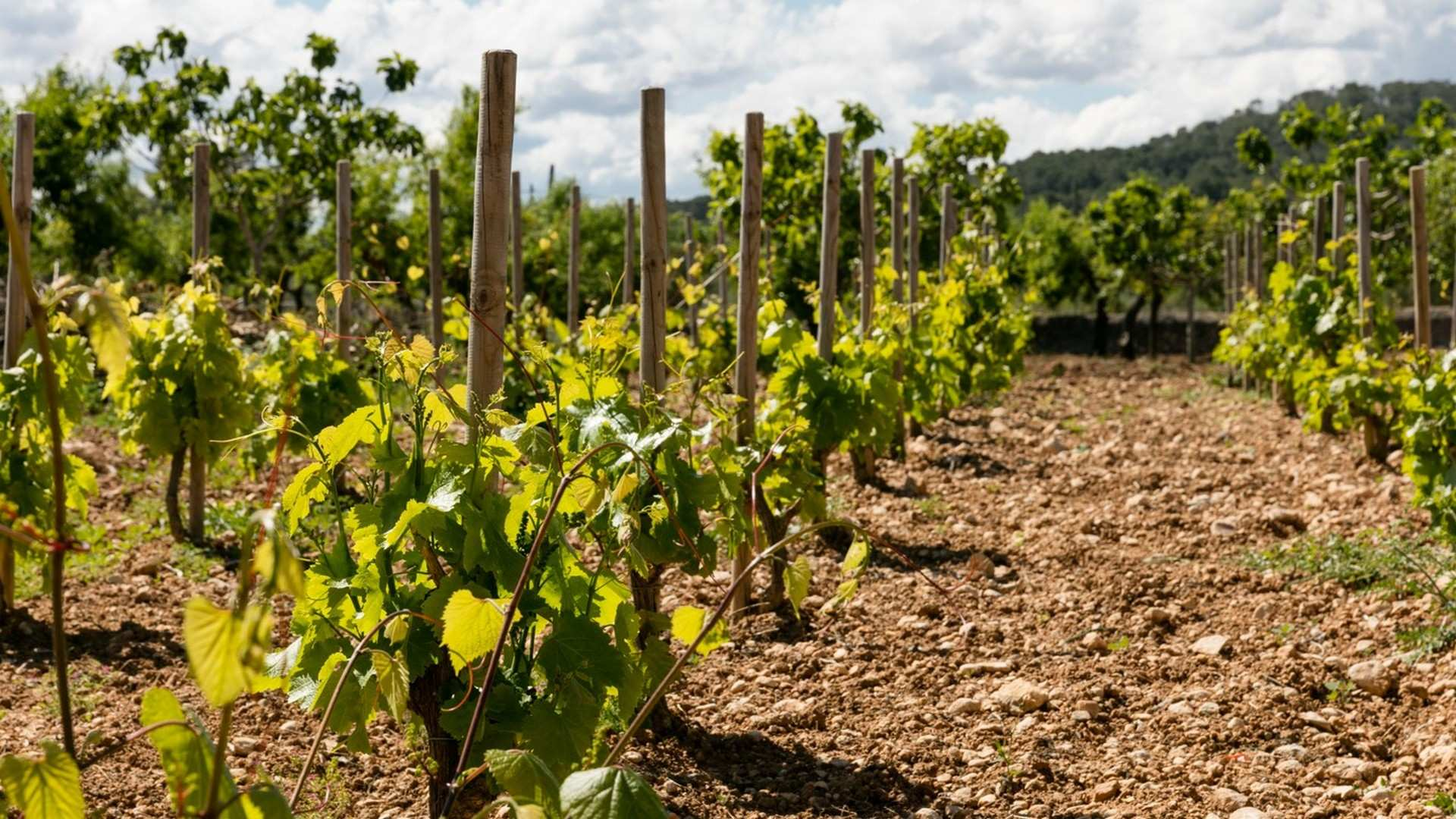 Vinos de Mallorca: el secreto mejor guardado de la isla